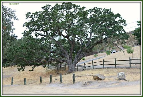 blueoaktree trees oaks nature fence fenceposts rocks landscape heilmannregionalpark atascadero california parks canon picmonkey