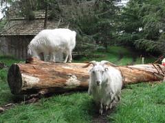 Goat Lumber Co