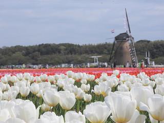佐倉チューリップフェスタ 1 オランダ風車11
