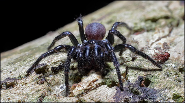 Funnel Web Spider x7