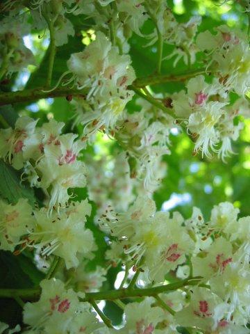 chestnut in blossom
