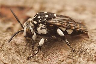 Thyreus species, Rousson