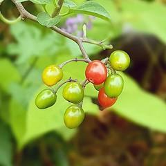 Ripening bittersweet nightshade berries
