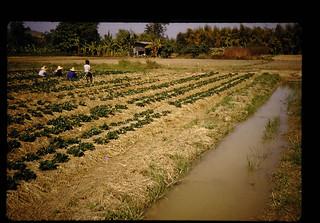 稲わらマルチしている苺畑