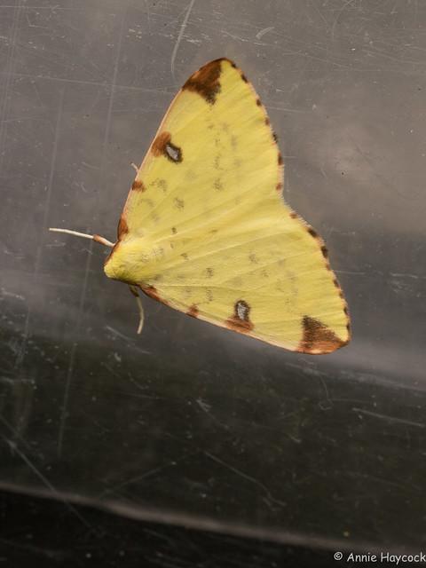70.226 BF1906 Brimstone Moth-Opisthograptis luteolata 1100731, Panasonic DMC-GH4, Olympus M.Zuiko Digital ED 60mm F2.8 Macro