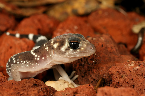 Thick-tailed Gecko (Underwoodisaurus milii)