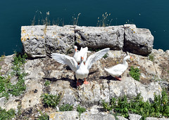 Swans on remains of ancient viaduct, Rieti