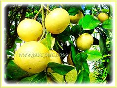 Lovely yellow fruits of Citrus x paradisi (Grapefruit, Paradise Citrus), 14 Aug 2014