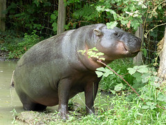 Cerza Zoo - pygmy hippopotamos. (3) - Photo of Manerbe