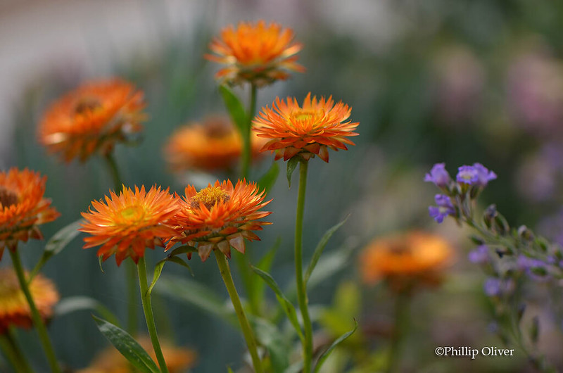 strawflower-mohave-orange