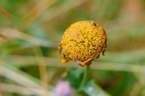 Corn marigold, petals gone, Bantock Park