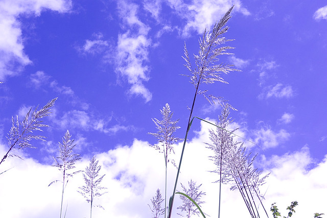 Tall Grass Against the Sky