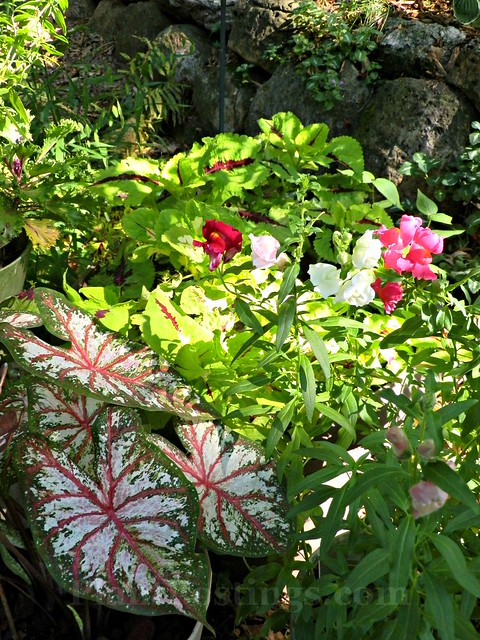 tapestry coleus and speedy sonnet