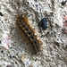 whiper caterpillar por ikarusmedia