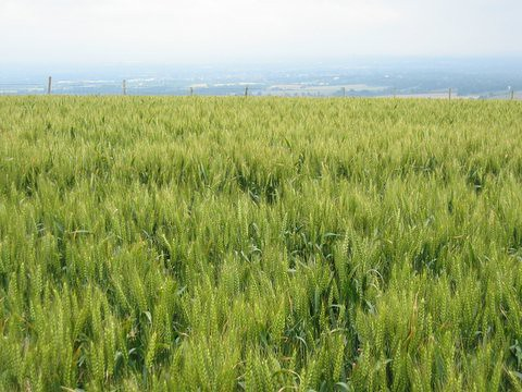 15 cornfield