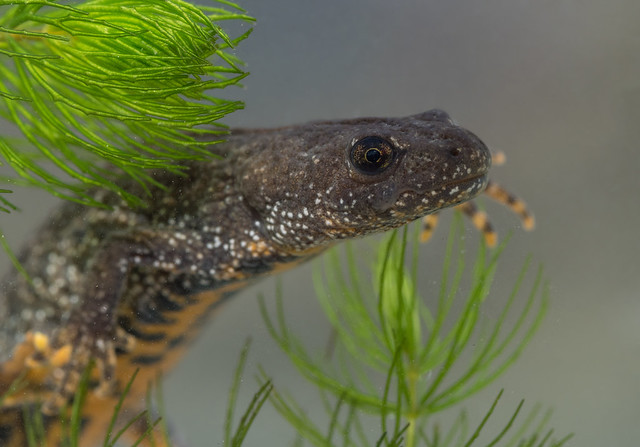 Great crested newt edited