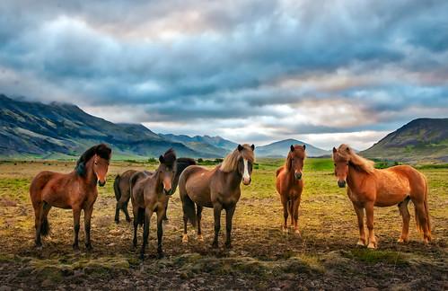 Iceland Horse Saga