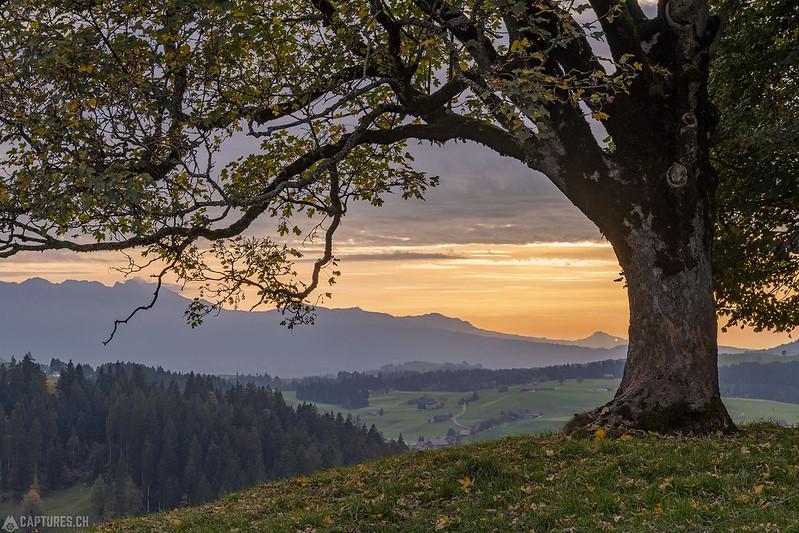 Tree - Schallenberg
