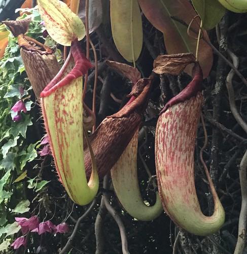a carnivorous plant