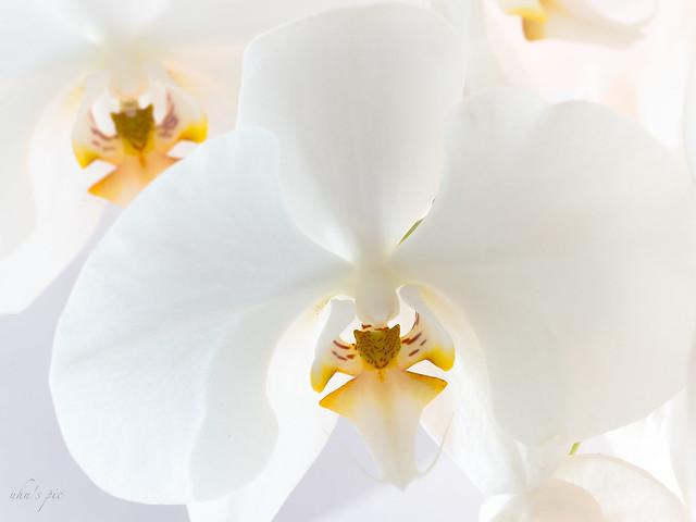 Orchidee, Fujifilm X-Pro2, XF90mmF2 R LM WR