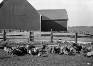 Chickens and turkeys at Thomas E. West farm, Dundas Road / Poulets et dindes à la ferme de Thomas E. West, sur Dundas Road