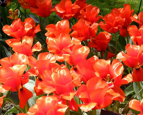 Brilliant Red Tulips