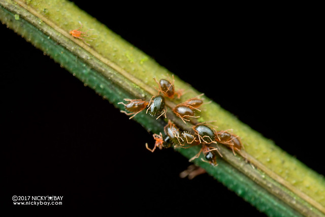 Stick insect with mites (Phasmatodea) - DSC_8936