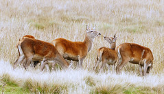HolderRed deer.