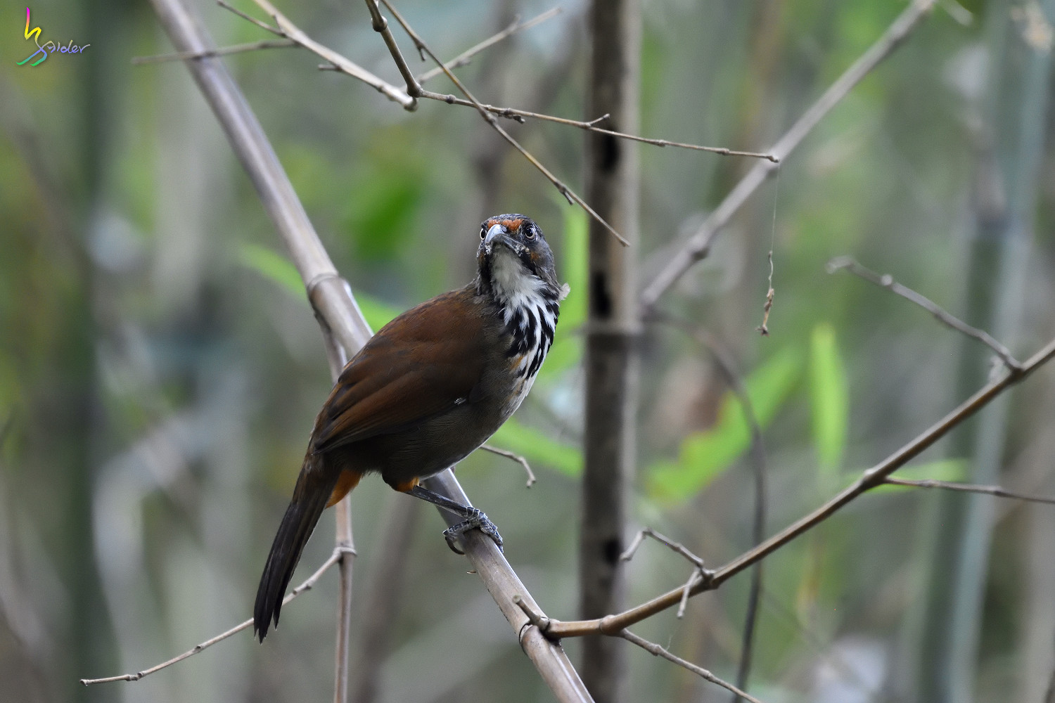 Rusty-cheeked_Scimitar_Babbler_2145
