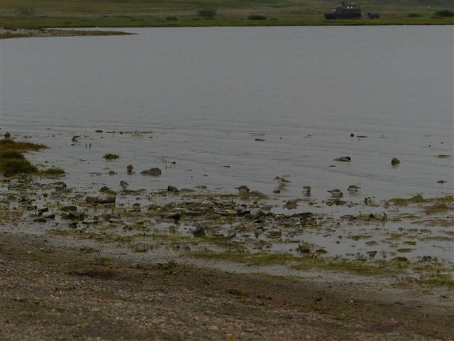 Sandpipers-and-Stints