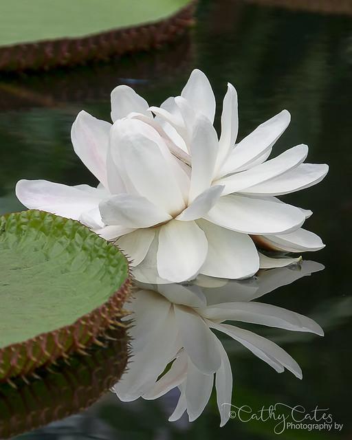 Victoria amazonica waterlily