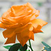 Orange rose in gardens