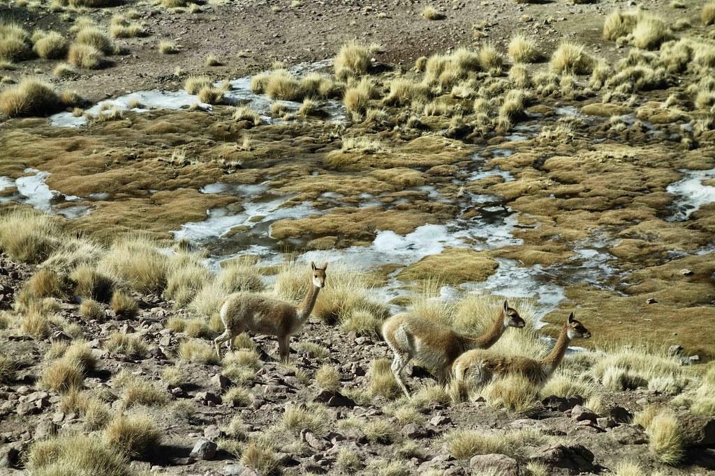 San Pedro Atacama - Geysers del Tatio - Vicuna 7