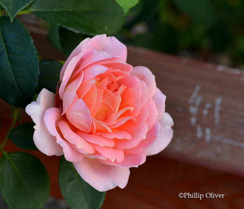 rose-lady-of-shallot