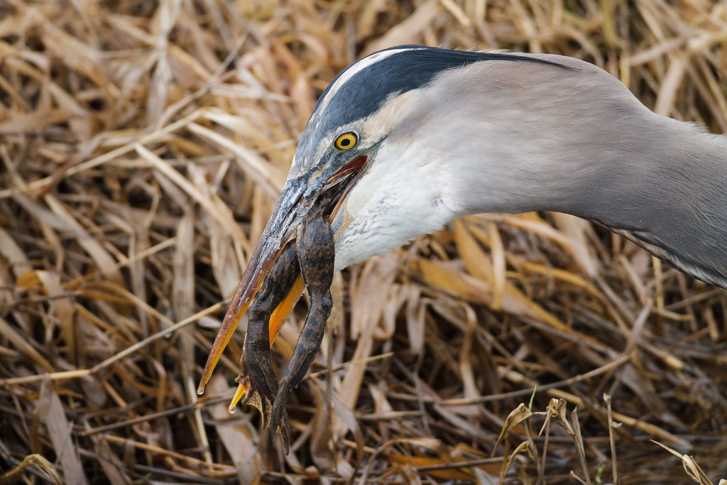 A great blue heron prepares to swallow a large bullfrog