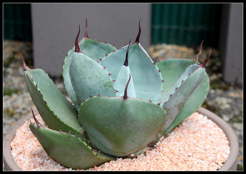 Agave parryi - Page 2 36102942504_118b5caa10