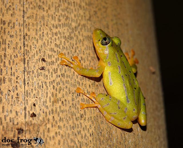 V Frog Kpm Flickr: Doc Fro...