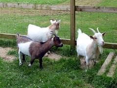 GOC Ashton 005: Goats