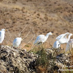 Garcillas bueyeras posadas. Lagunas de La Guardia (Toledo) 17-9-2017