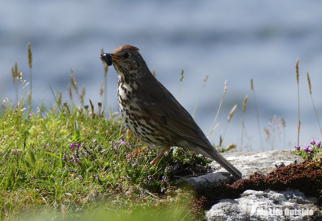 P1100439 - Song Thrush, Isle of Mull
