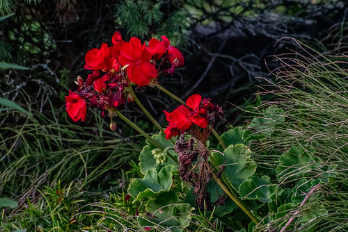 Geraniums | by Stephen Downes