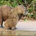 Capybara by Glenn Bartley - www.glennbartley.com