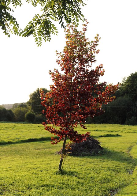 Liquidambar near Pulborough