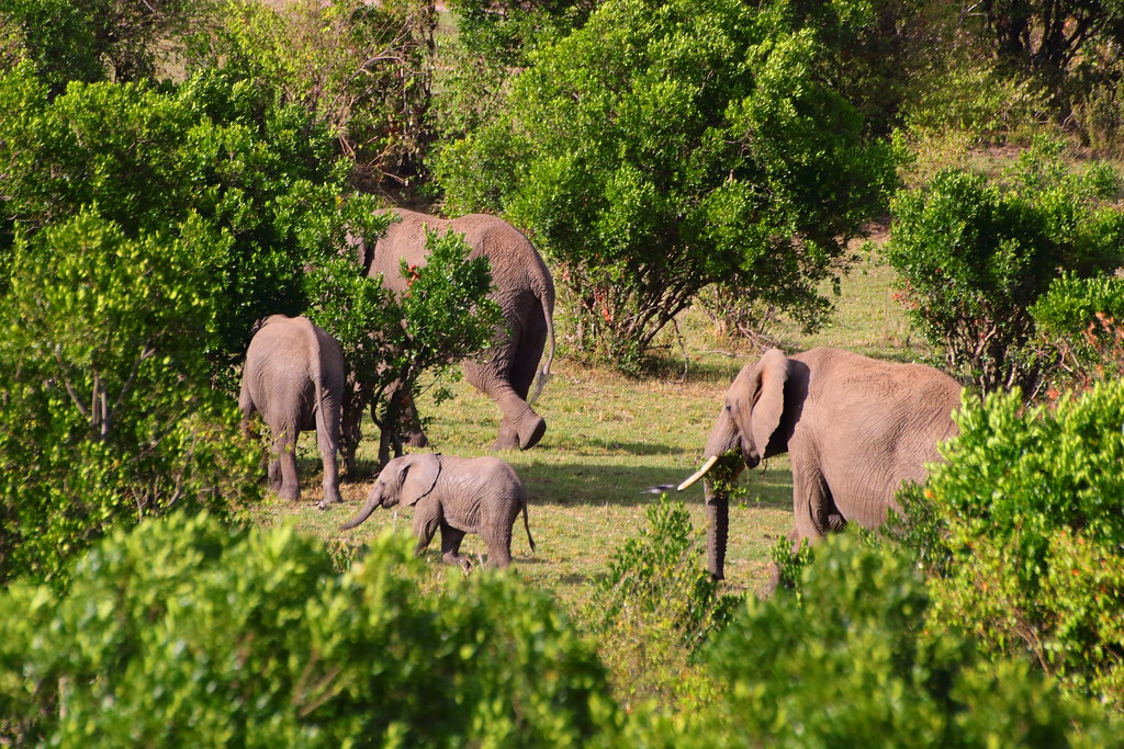 Elephant herd, calf shows up