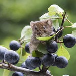 Vole Feast by Alan Bennett