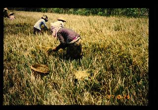 Rice Harvesting By Ani-ani = アニアニによる稲収穫