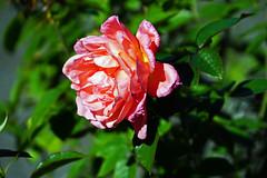 Sweet Fragrance rose at Peggy Rockefeller Rose Garden - New York Botanical Garden, Bronx, NYC