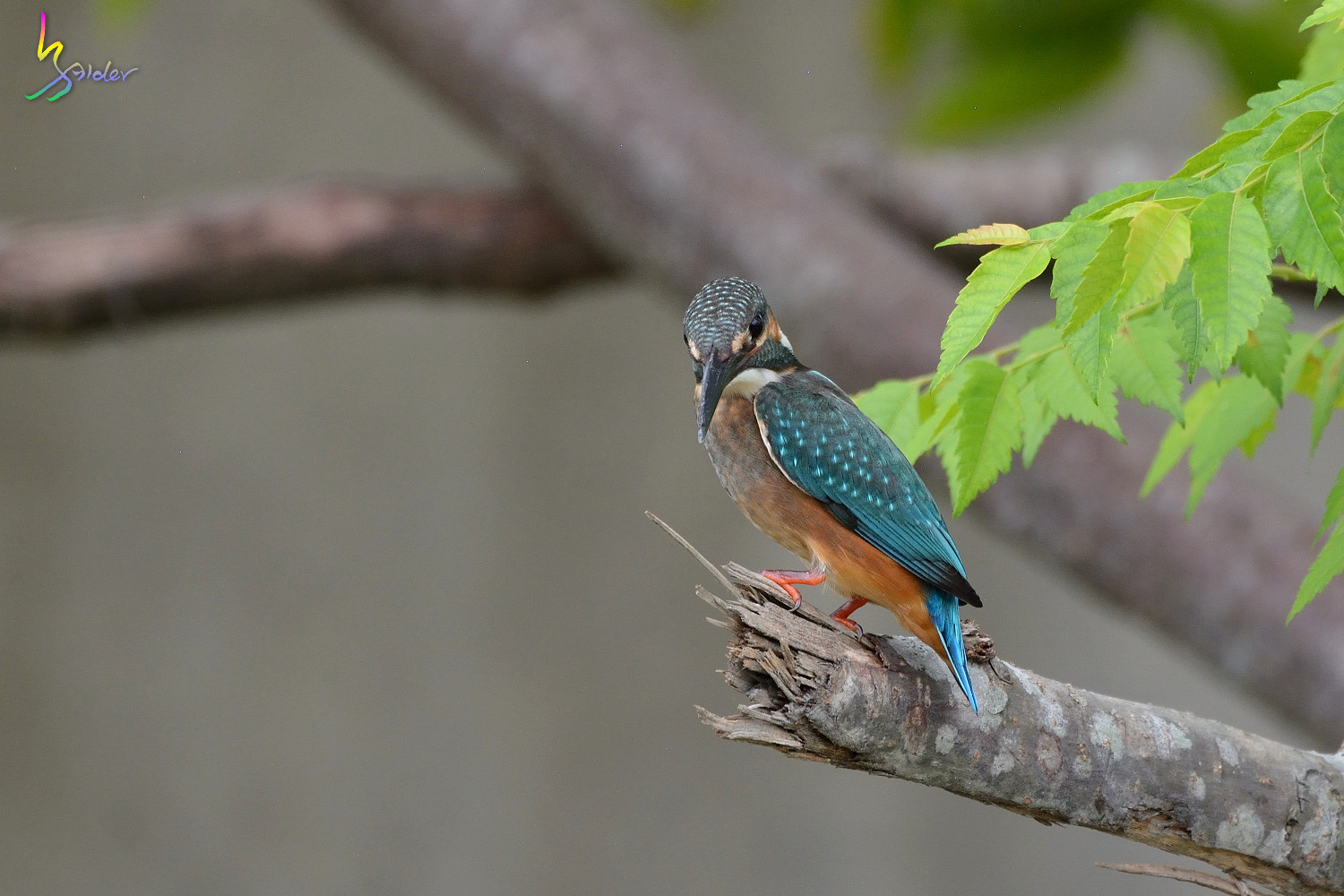 Common_Kingfisher_5398
