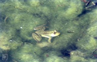 Edible frog. Rana esculenta. Hula. North Jordan [River] Reserve
