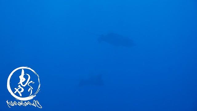 カメエリアではカメではなくマダラトビエイのペアがぐるぐる~♪